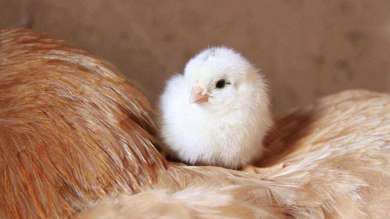Как да премахнем кокошия трън
