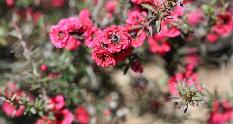 """Мед от манука – """"нектарът на боговете"""" за сияйна кожа"""